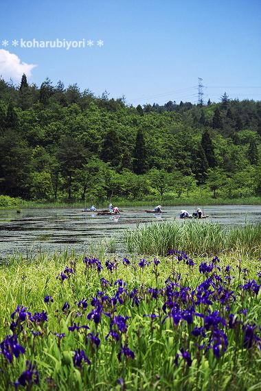 村岡のじゅんさい池