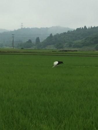 阿賀野市 コウノトリ
