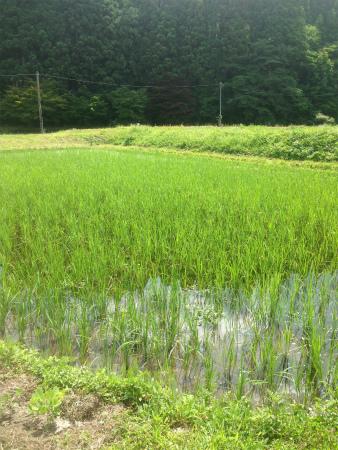 無農薬 お米